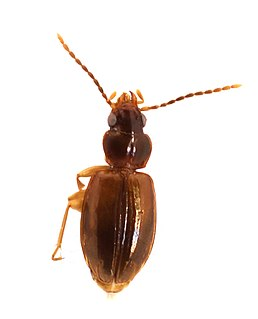 <i>Tachys</i> genus of insects