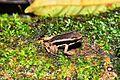Talamanca Rocket frog (Allobates talamancae) (9421159299).jpg