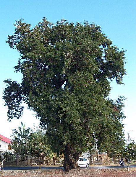 semis Tamarindus indica - tamarin 460px-Tamarindus_indica_2