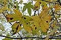 Tar Spot (Rhytisma acerinum) on Sycamore at Spier's School, North Ayrshire.jpg