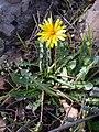 Taraxacum cyprium 1.jpg