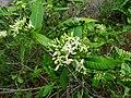 Tarenna asiatica - Asiatic Tarenna 12.jpg