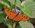 Tawny Coster (Acraea violae) on Stachytarpheta jamaicensis (Porterweed) in Talakona forest, AP W IMG 8420.jpg