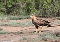 Tawny Eagle, Aquila rapax that we believe had caught a red billed buffalo weaver (Kruger National Park) (20181968861).jpg