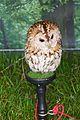 Tawny Owl, Strix aluco.jpg
