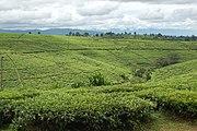 Tea fields, Tukuyu, Tanzania