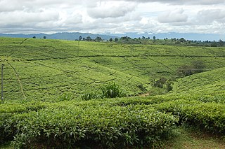 Tea fields, Tukuyu, Tanzania.jpg