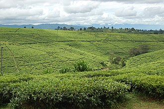 Mbeya Region - Tea fields in Tukuyu