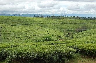 Mbeya Region - Tea fields in Tukuyu