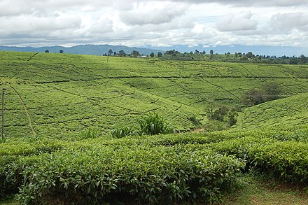 Tea fields in Tukuyu Tea fields, Tukuyu, Tanzania.jpg