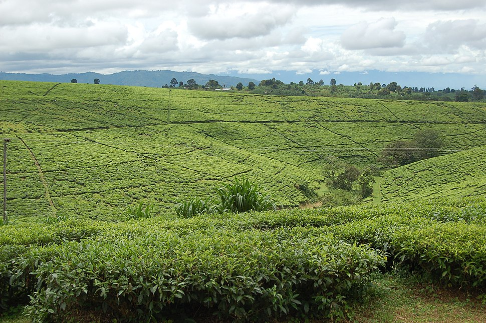 Tea fields, Tukuyu, Tanzania