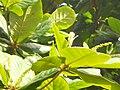 Terminalia catappa (101).jpg
