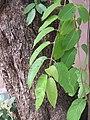 Terminalia chebula - Myrobalan - WikiSangamotsavam 2018, Kottappuram, Kodungalloor (3).jpg