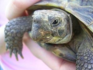 Negligible senescence - Some tortoises show negligible senescence.