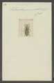 Tetrabothynus - Print - Iconographia Zoologica - Special Collections University of Amsterdam - UBAINV0274 029 01 02 0094.tif