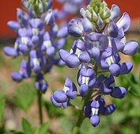 Texas Bluebonnet (Lupinus texensis).jpg