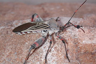 Giant mesquite bug Species of insect