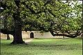 "The ""Royal"" Oak tree.jpg"