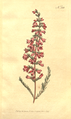 The Botanical Magazine, Plate 366 (Volume 11, 1797).png
