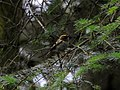 The Goldcrest - geograph.org.uk - 879842.jpg