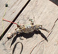 The attack caught crab in Gambia.jpg