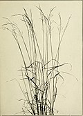 The book of grasses - an illustrated guide to the common grasses, and the most common of the rushes and sedges (1912) (14577001299).jpg