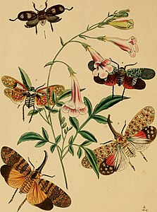 The cabinet of oriental entomology - being a selection of some of the rarer and more beautiful species of insects, natives of India and the adjacent islands, the greater portion of which are now for (14597246028).jpg