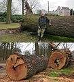 The enormous oak that tumbled down 3 januari 2013 is some 1,35 m diameter and has a hollow core - panoramio.jpg