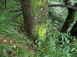 The habitat of Ulmus elongata.JPG