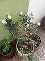 The roses.jpg