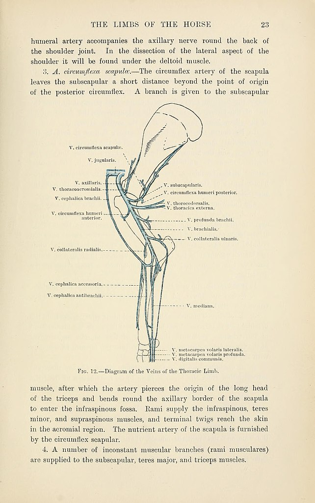 File:The topographical anatomy of the limbs of the horse (Page 23 ...