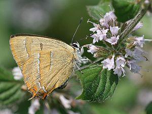 Brown hairstreak -  Underside of female