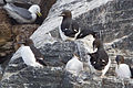 Thick-billed Murre (Uria lomvia) (13667798953).jpg