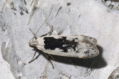 Thiotricha subocellea, Lodz(Poland)03(js).jpg