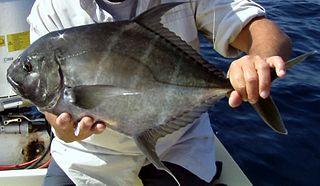 Threadfin jack species of fish