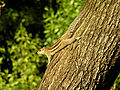 Three-striped palm squirrel on tree.JPG