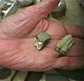Three toed horse fossils 2011.jpg