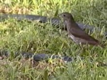 Fitxategi:Thrush Nightingale.ogv