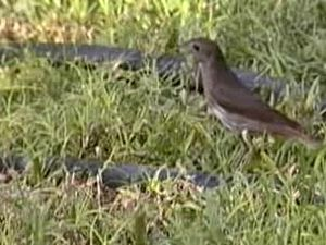 Dosiero:Thrush Nightingale.ogv