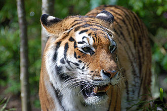 Primorsky Krai - Most of the world's population of wild Siberian tigers is found in Primorsky Krai