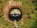 Tiger Beetle Larva (28570494354).jpg