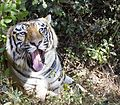 Tiger with its mouth wide open.jpg