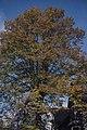 Tilia platyphylla Park Place Cardiff October 1980 (22843909138).jpg
