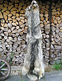 Timber wolf fur skin (back side 2).jpg