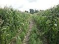 Tiptoe through the Maize - geograph.org.uk - 38455.jpg