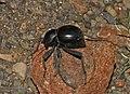 Toktokkie beetle (Tenebrionidae) (6227472645).jpg