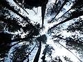 Top of pine trees.jpg