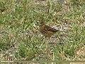 Tree Pipit (Anthus trivialis) (30373268170).jpg
