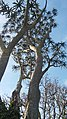 Tree aloe in Company's Garden.jpg