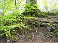 Tree roots - geograph.org.uk - 447737.jpg